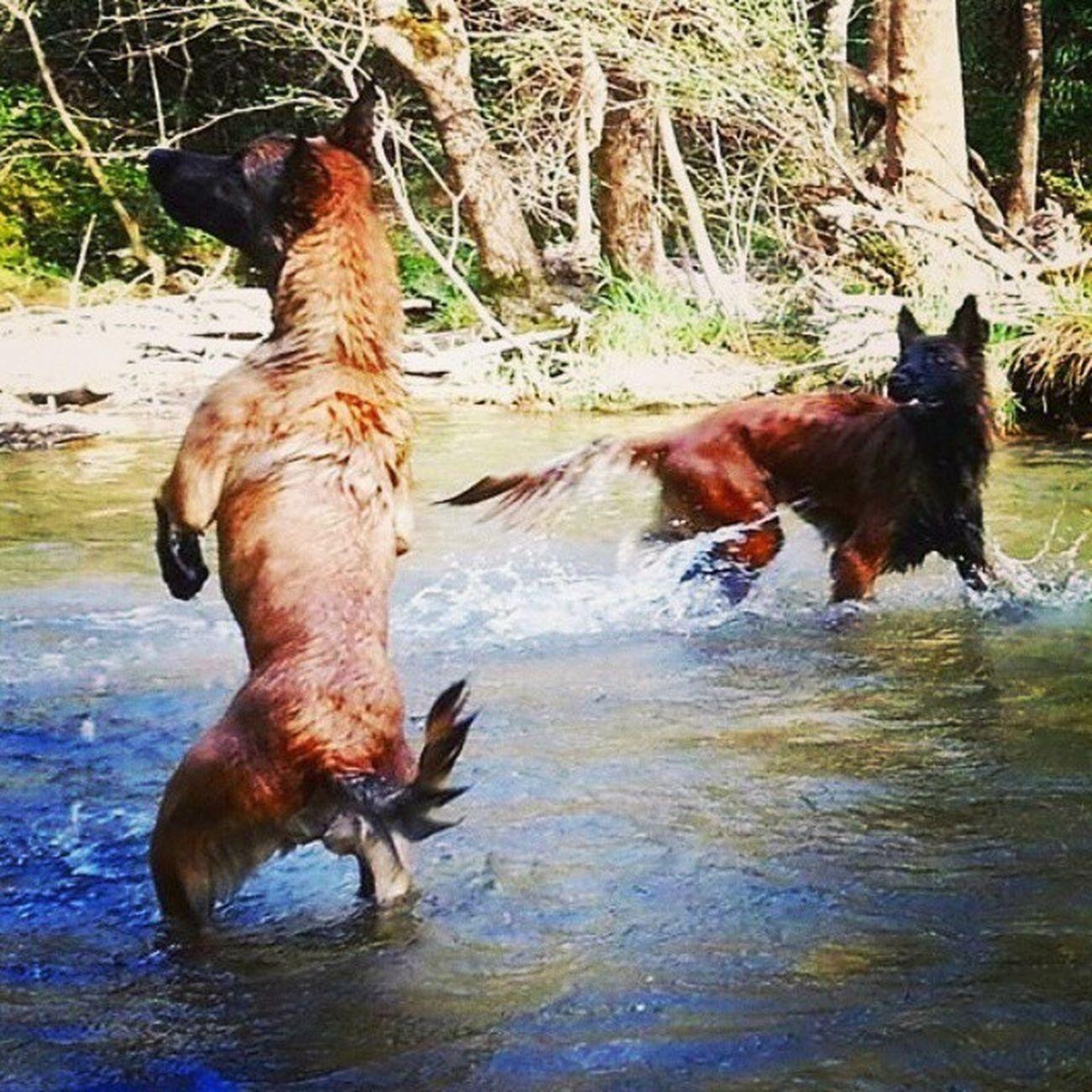 Mia et Jumper ♡ Dogs Malinois Tervueren Baignade Tranquillade