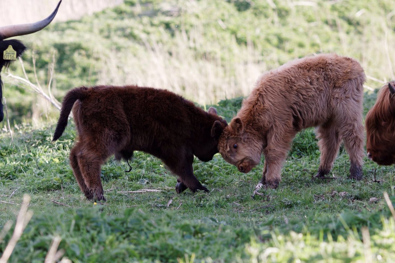 Playing Newly Born Highland Cattle Grass Livestock Animal Themes Field Mammal Domestic Animals Grazing Day No People Outdoors Nature Togetherness Highland Cattle
