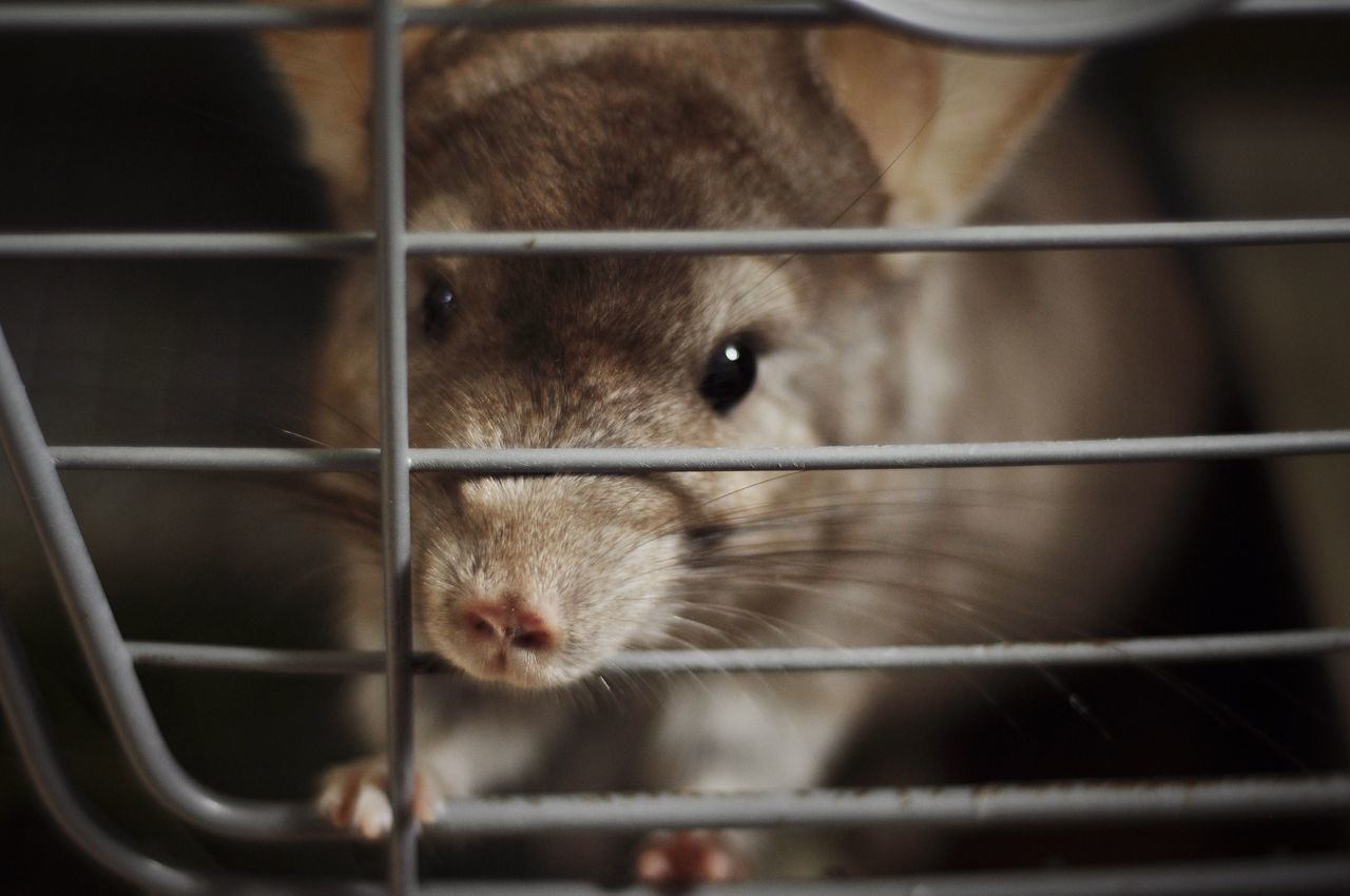 Beautiful stock photos of rat, Animal Themes, Animals In Captivity, Cage, Close-Up