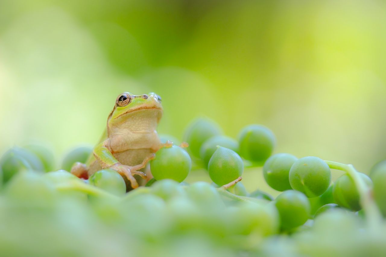 Beautiful stock photos of frog, Alertness, Animal Head, Animal Themes, Close-Up