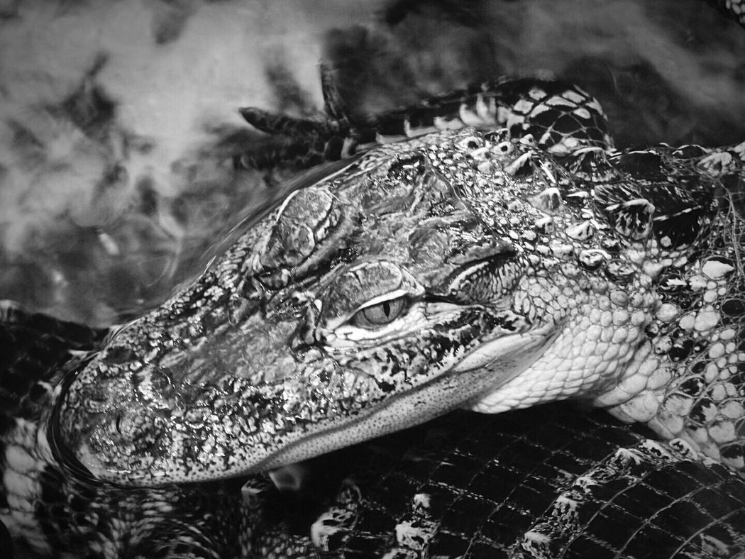Alligators are not so friendly... Science Center Alligator Nature_collection Nature Photography Amaturephotography Animal Photography Animal_collection Black And White Black & White Animalphotography Alligators In The Water Scary Look