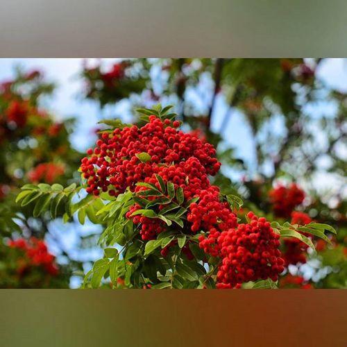 Икра красная, черная, икра заморская - баклажанная! рябина осень наступает краски  Rowan Autumn Nature Outdoor Gardening Green Tree Trees Beloved Russia Jupiter9 Jupiter 9