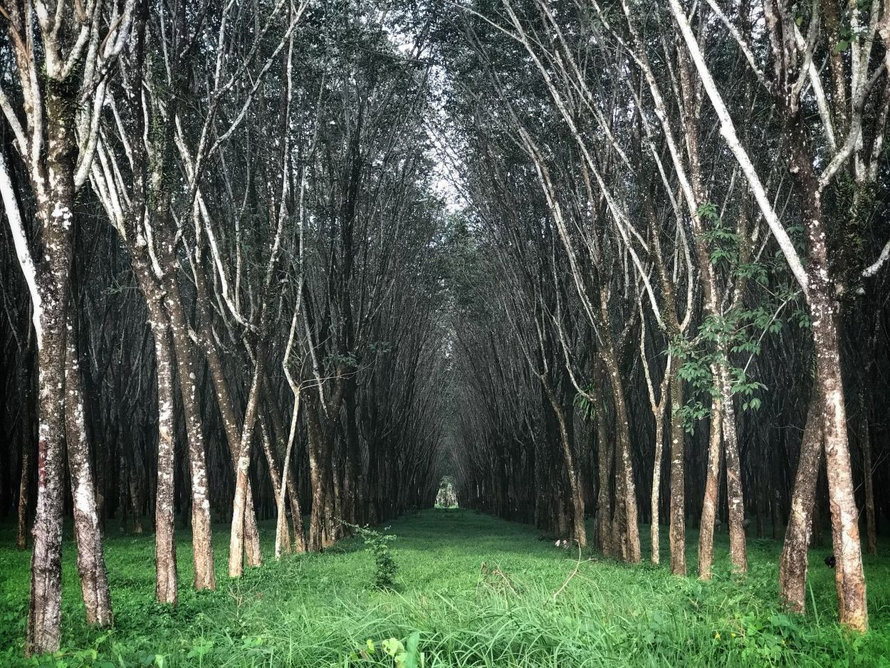 Rubber Trees Nature Growth Beauty In Nature Outdoors Tranquility Green Color Scenics No People Day Forest Tree Phuket,Thailand