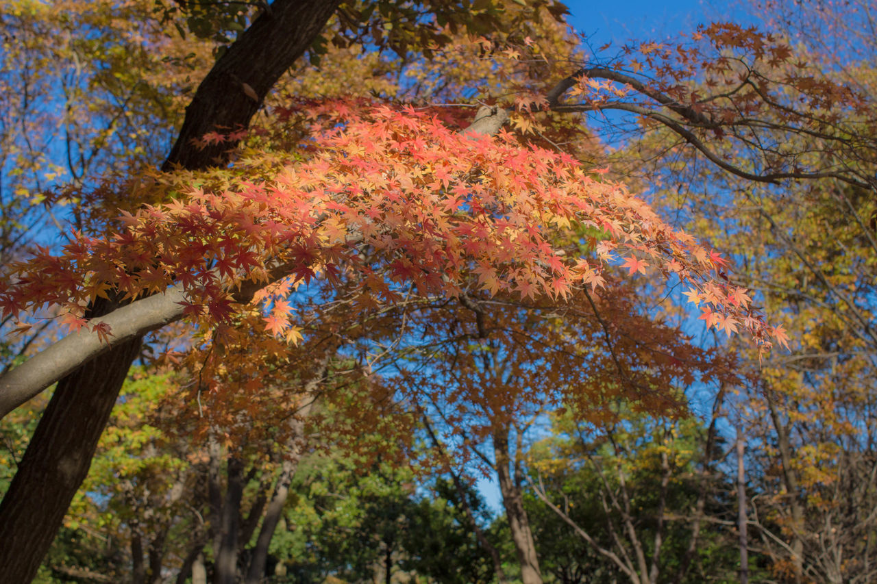 Autumn Autumn Leaves Maple Nature Nature_collection Party しょうわきねn 公園 昭和記念公園