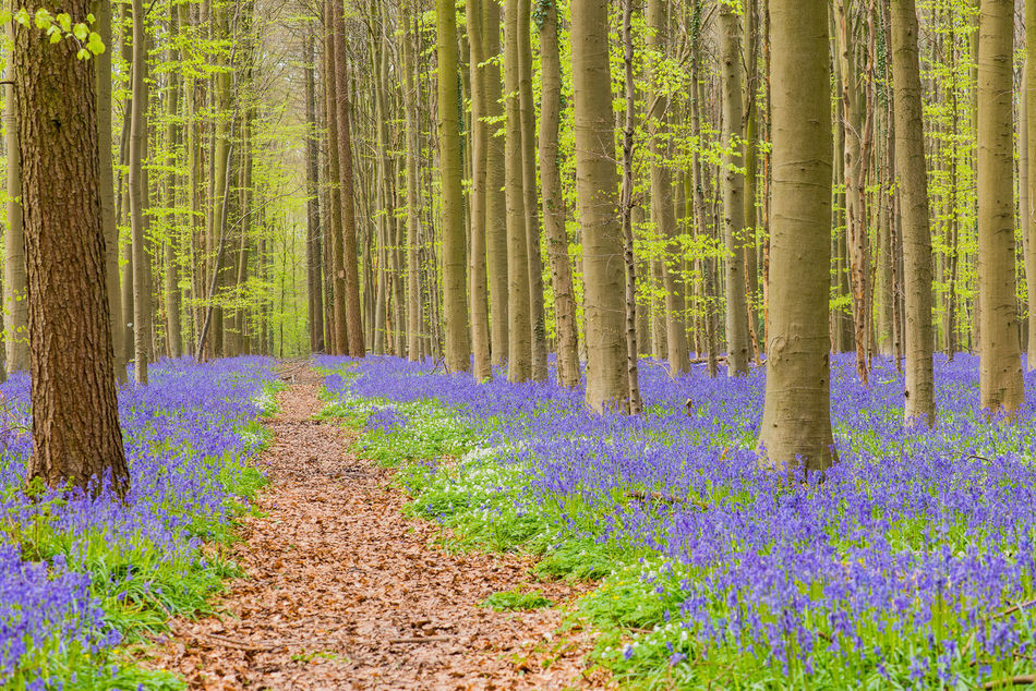 Spring forest Beauty In Nature Blue Bells Day Flowers Forest Forest Photohraphy 👌 Freshness Growth Hallerbos Lush - Description Nature No People Outdoors Tree