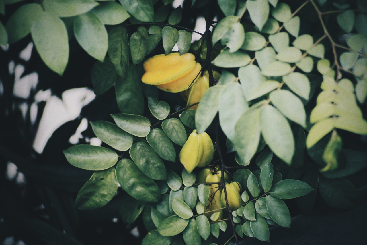 Fruit.. // Leaf Nature Green Color Beauty In Nature Growth Plant No People Day Outdoors Freshness One Animal Close-up Flower Water Fruits Fruit Film Photography