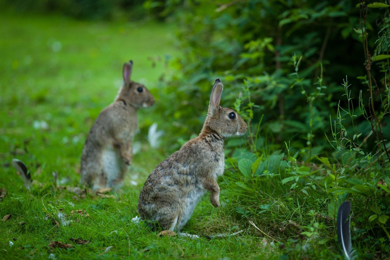 Beautiful stock photos of hasen,   Leaf,  Alertness,  Animal,  Animal Themes