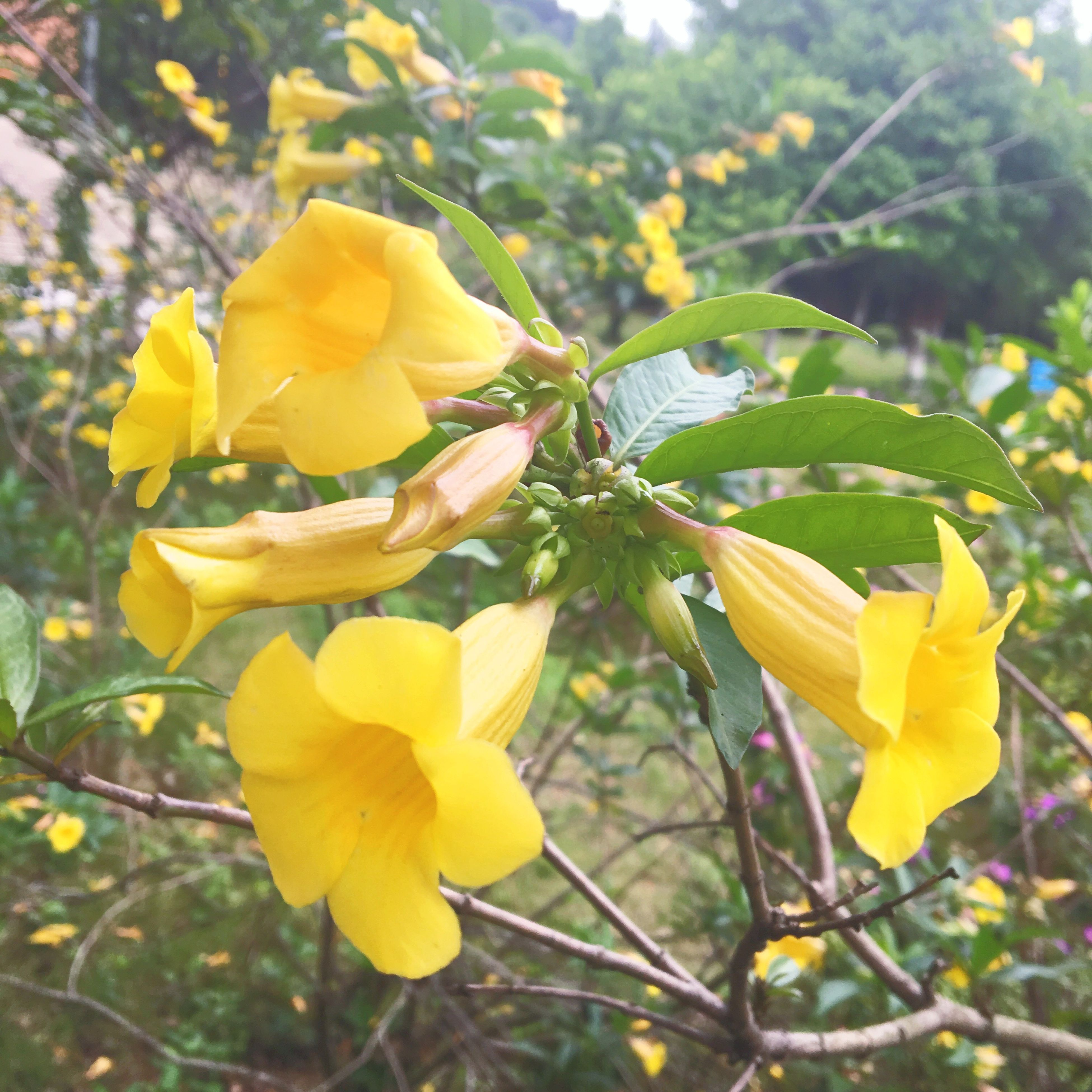 yellow, nature, growth, plant, flower, beauty in nature, close-up, petal, outdoors, blooming, freshness, no people, flower head, fragility, day