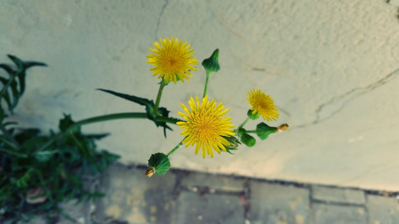 plant, flower, growth, nature, fragility, beauty in nature, day, leaf, outdoors, no people, freshness, green color, high angle view, petal, yellow, close-up, flower head, blooming