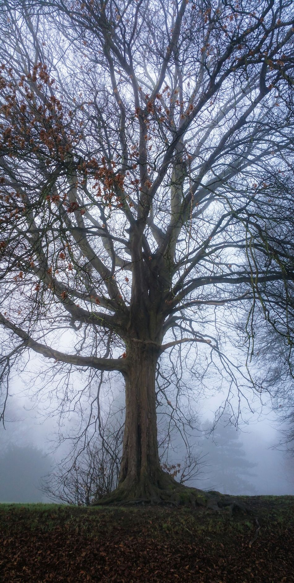 A Tree in Fog Tree Nature No People Growth Tranquility Beauty In Nature Outdoors Scenics Landscape Branch Grass Single Tree Foggy Park Autumn Fall Wales Newtown Powys Countryside Britain Old Tree Misty Mornings Cold Weather