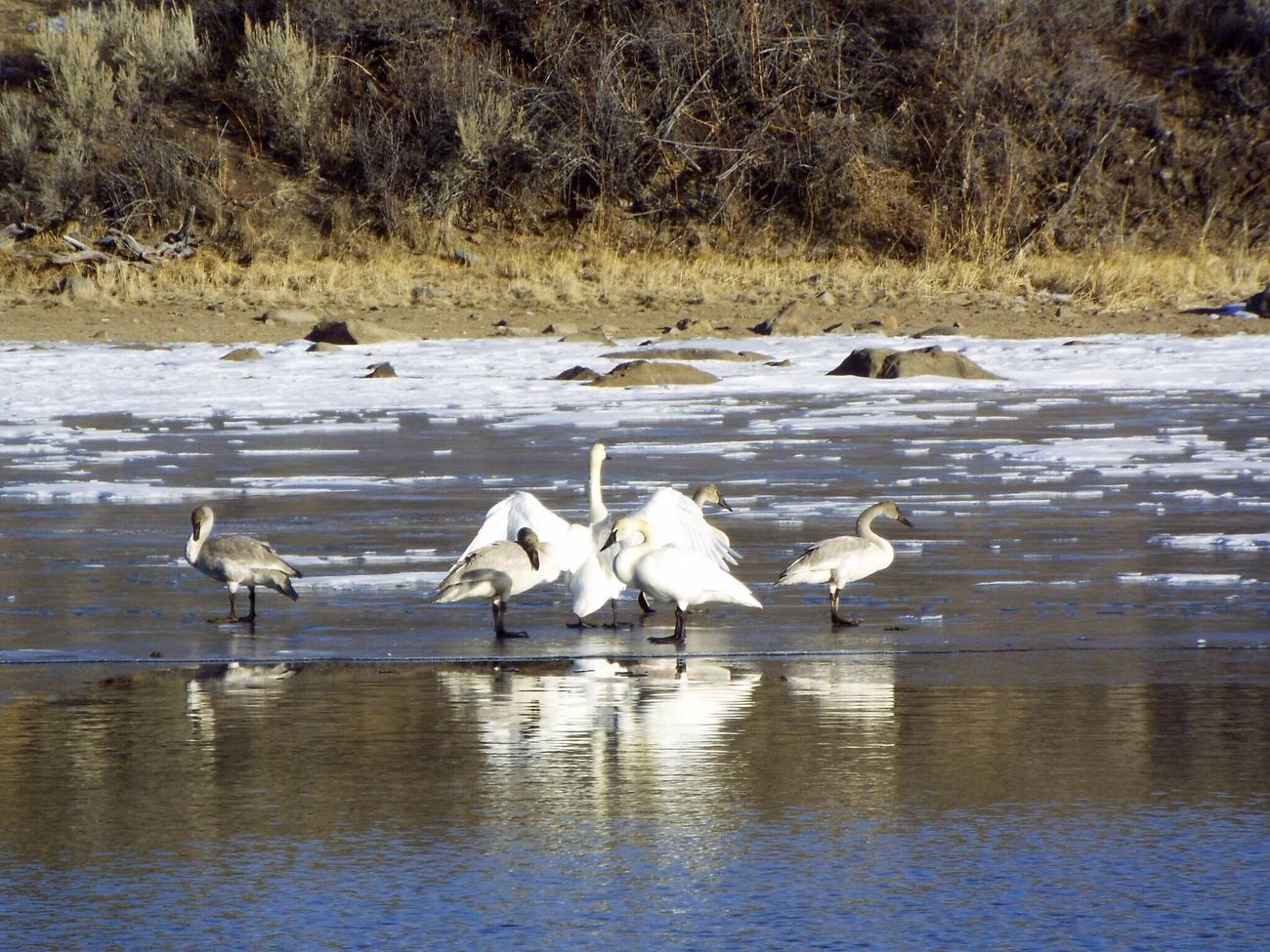 Found On The Roll Swan Dance