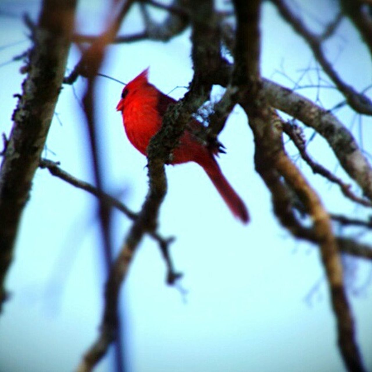 Red Branch Outdoors Nature Tree Close-up Redbird EyeEmNewHere EyeEmNewHere