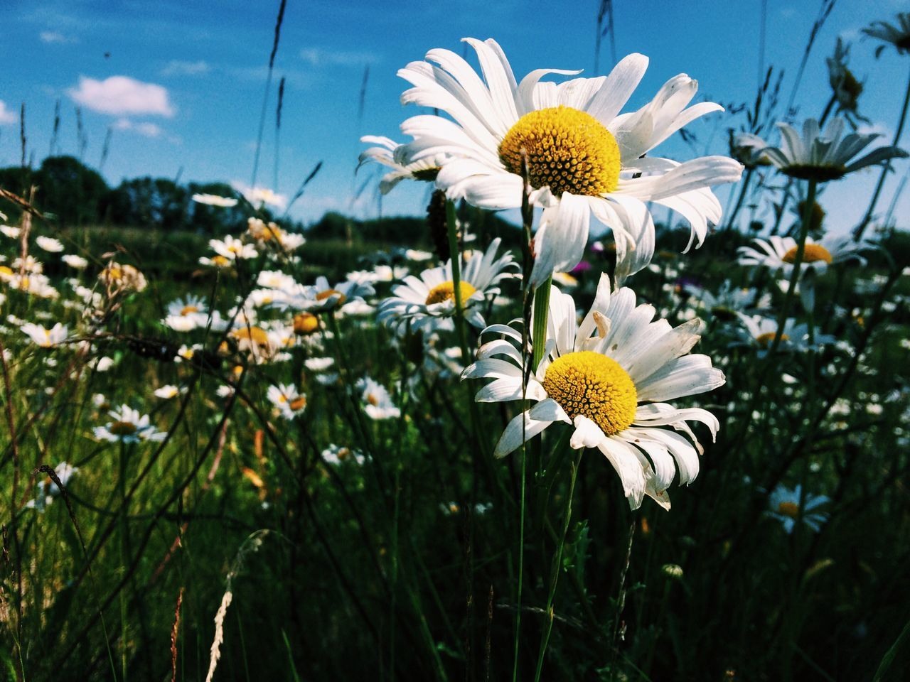 Daisy Daisies Daisy Flower Hello Summer!  Summertime Summer Vibe Flowers Flower Collection Close-up Flowers,Plants & Garden Flowers, Nature And Beauty Nature_collection Nature Photography Nature On Your Doorstep Naturelovers Beautiful Beauty In Nature EyeEm Nature Lover Eye Em Nature Lover Eye Em Around The World Eye Em Best Shots - Flowers Eye Em Gallery EyeEm Gallery Country Life EyeEm Best Edits