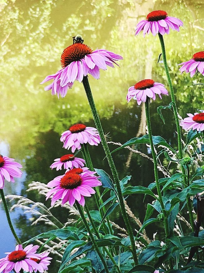 Blackeyed Susy Perennial Planter Perennials Perennial Plants Perennial Sow Thistle Gardensbythebay Garden Flowers Gardens Gardening Garden Garden Photography Summer2016 Summertime Summer Summerheat Daisy Pink Flowers Bumblebee Nature Nature_collection Nature Photography Natural Beauty Natutre