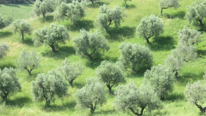 olive grove in Abruzzo Abundance Agrarian Agriculture Backgrounds Beauty In Nature Day Field Full Frame Grass Grassy Green Growing Growth Idyllic Lush Foliage Nature Oil Olive Plant Plantation Rural Rural Scene Scenics