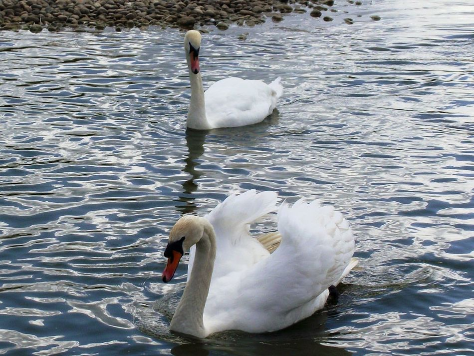 EyeEm Nature Lover EyeEm Birds Eyemphotography Throughmyeyes Birds_collection Swans ❤ Swans Swimming White Swans Water Reflections Slimbridge