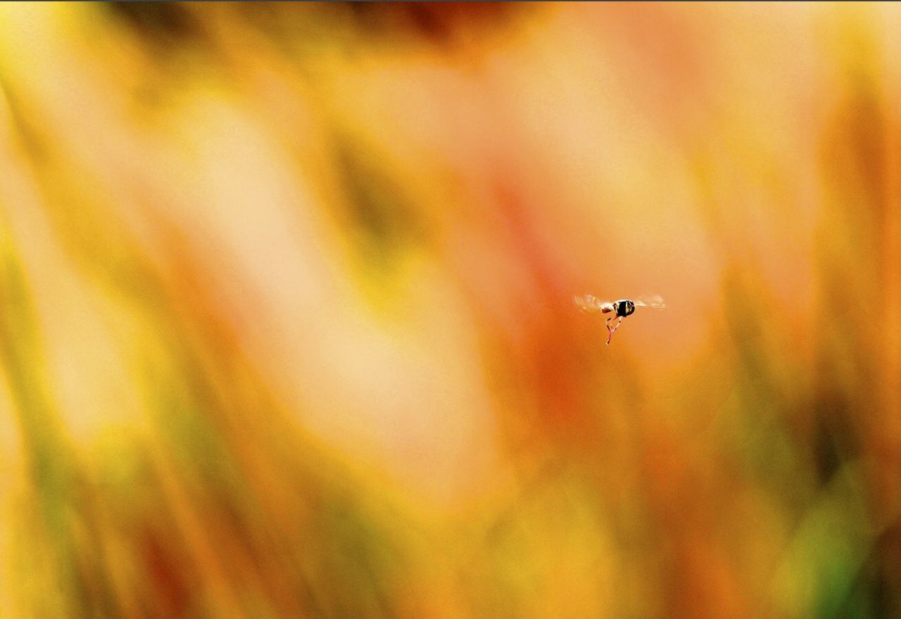one animal, insect, animals in the wild, animal themes, flying, focus on foreground, mid-air, no people, animal wildlife, close-up, nature, outdoors, day, beauty in nature