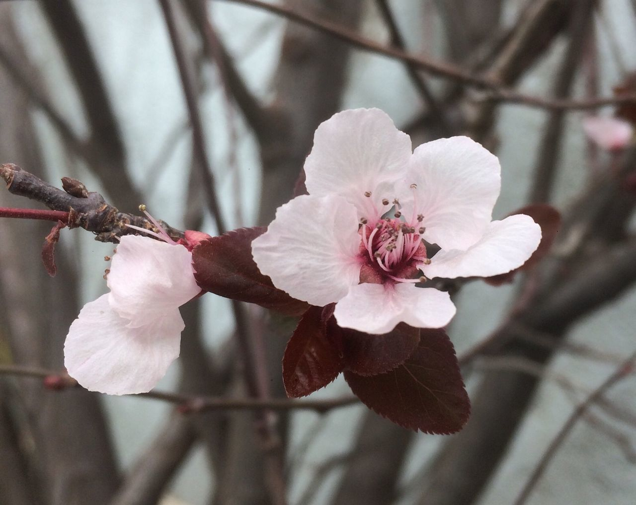 flower, petal, fragility, beauty in nature, blossom, growth, flower head, nature, branch, white color, springtime, pink color, twig, botany, freshness, focus on foreground, close-up, tree, pollen, day, stamen, no people, plum blossom, blooming, outdoors, wild rose