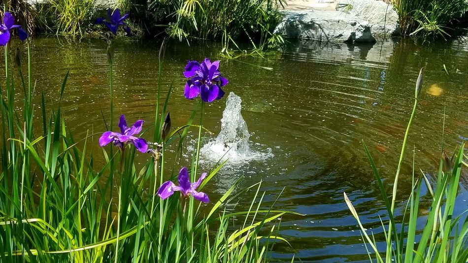 Soothing Ripples Concentric Circles Ripple Effect Effect Purple Iris Pond Water Simplicity Perserverance Lines Copy Space Relaxation Design Pattern Quiet Peaceful Meditation Mood Reflecting Serene Tranquil Art Is Everywhere