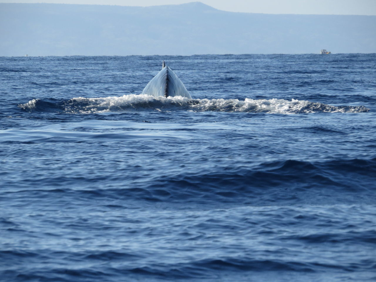 Beautiful stock photos of blue whale, Animal Themes, Blue, Lahaina, Nature