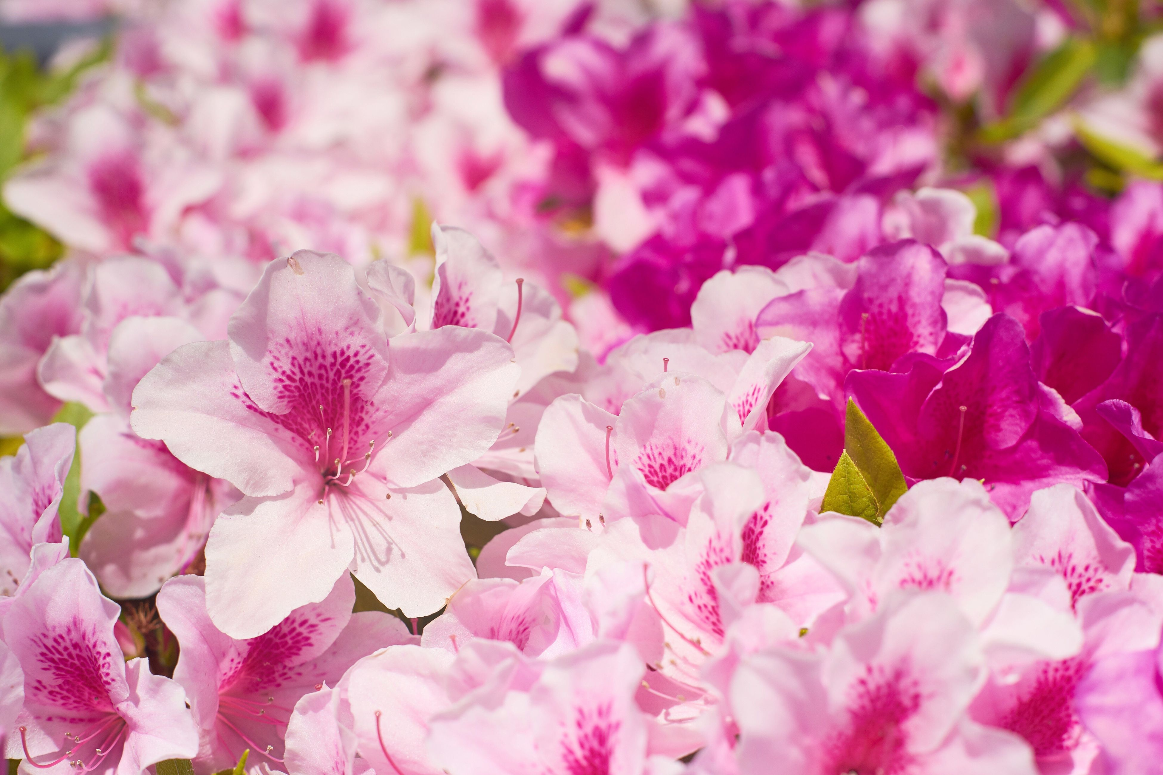 flower, pink color, fragility, petal, beauty in nature, freshness, nature, no people, selective focus, springtime, growth, blossom, flower head, plant, backgrounds, close-up, full frame, outdoors, day, blooming