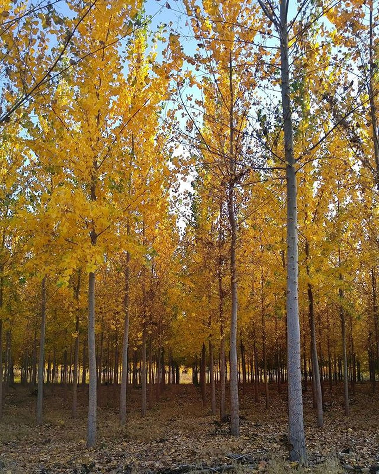 Another of the Boardmantreefarm Trees Pacificalbus Paper Yellow Fall Seasons Forest Landscape