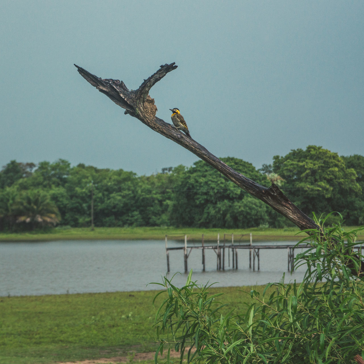 Another bird near our pousada in the Pantanal. Animal Animal Themes Animal Wildlife Animals In The Wild Animals In The Wild Beauty In Nature Bird Bird Of Prey Branch Cloudy Day Green Jungle Lake Moody Nature No People One Animal Outdoors Pier Sky Tree Water Wildlife Wildlife & Nature The Great Outdoors - 2017 EyeEm Awards
