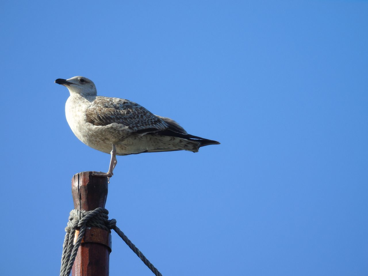 Seagull on a fishing boat.... Seagull Bird Animal Themes Clear Sky Day Nature Sky Blue Animal Wildlife Adapted To The City