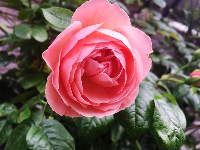 Milano Plant Nature No People Flower Rose - Flower Beauty In Nature Pink Color