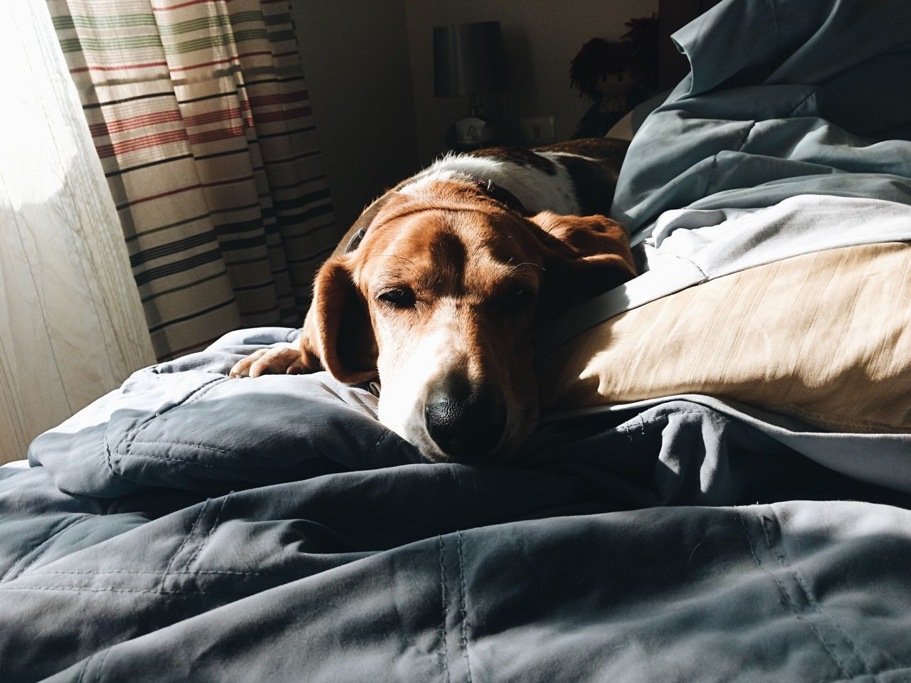 Qué haces ahí Dog Bed Pets Domestic Animals Mammal Relaxation Home Interior Indoors  Resting Animal Themes One Animal Bedroom Lying Down Comfortable Sheet No People Day Close-up Basset Hound