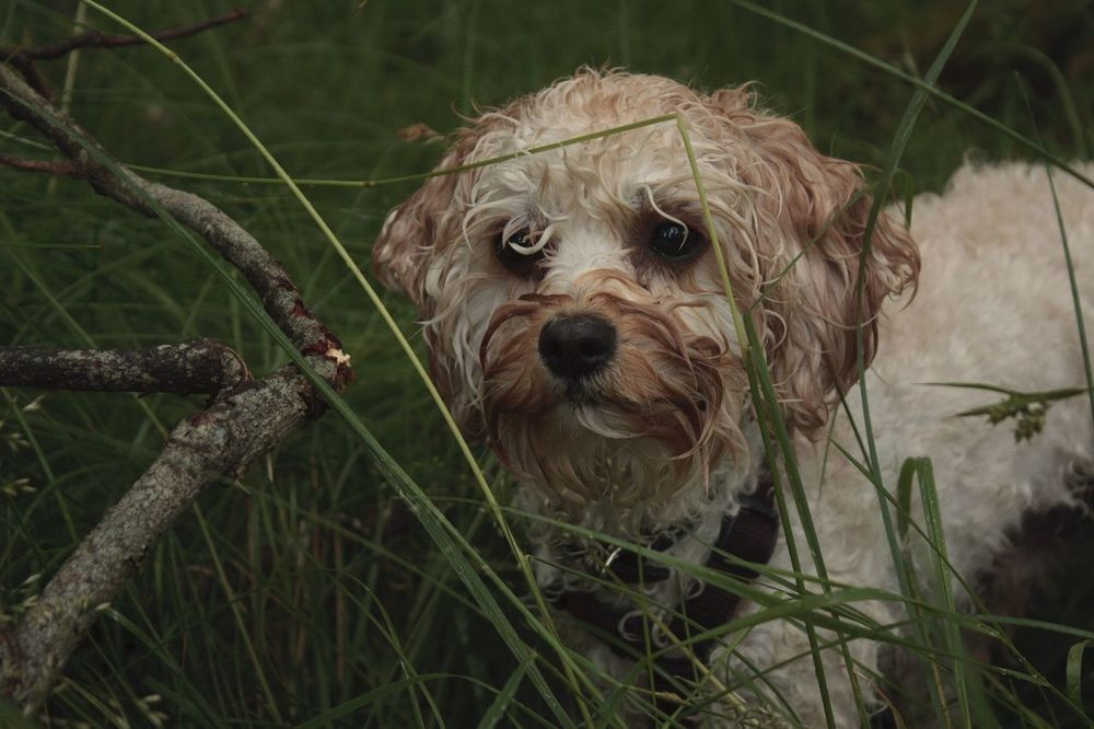 EyeEm Best Shots Check This Out Hello World Relaxing Enjoying Life Check This Out Dogs Of EyeEm Cavapoo Everyday Joy Northern Norway Farmlife Homesweethome Showcase July