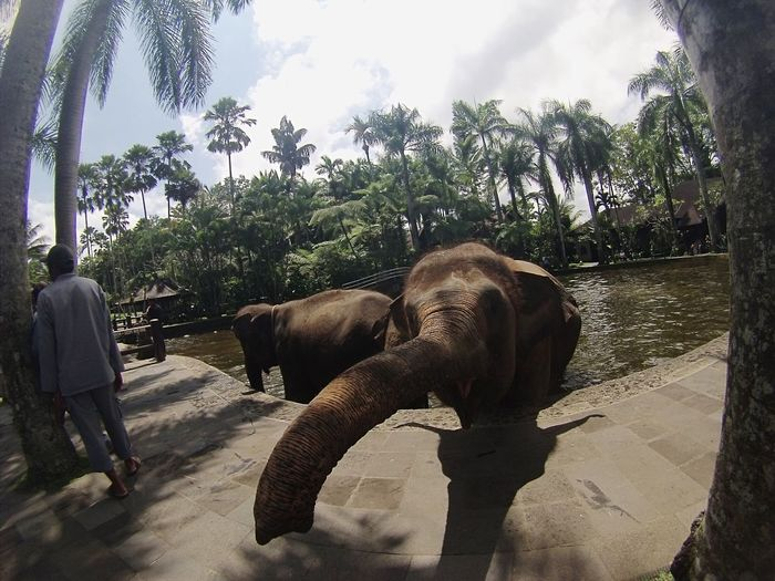 Elephant Tree Indian Elephant Sky Horizontal Palm Tree Outdoors Animal Themes Nature Domestic Animals Mammal Togetherness Day No People African Elephant Landscape Tranquility Reflection Water Scenics Beauty In Nature Nature Vacations Sunlight