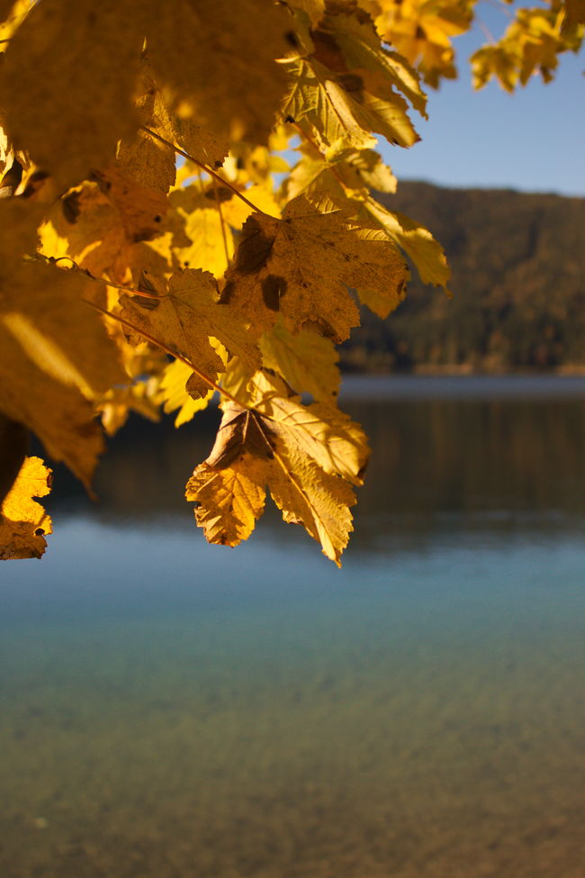And again, yellow and orange leaves Autumn Beauty In Nature Branch Change Day Eibsee Green Water Lake Leaf Maple Leaf Nature No People Orange Color Outdoors Scenics Sky Tree Water Yellow