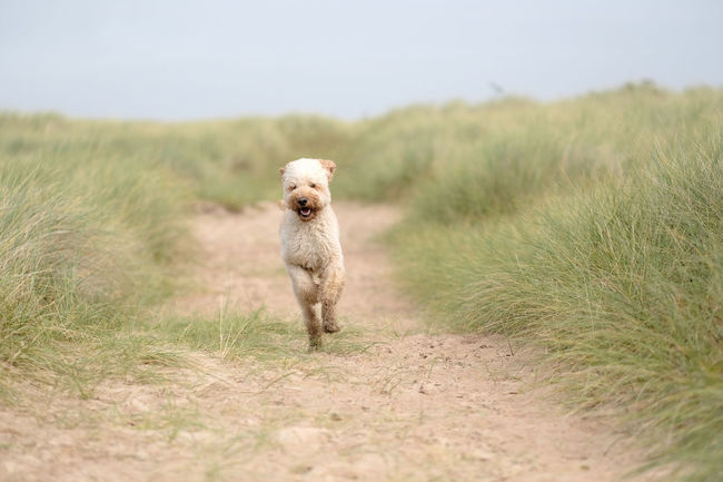 Animal Themes Beach Coast Dog Dog Friendly Beach Dogs Dogslife Domestic Animals Exercise Grass Happy Dog Healthy Labradoodles Outdoors Pets Running Dog Sand Sand Dunes Seaside