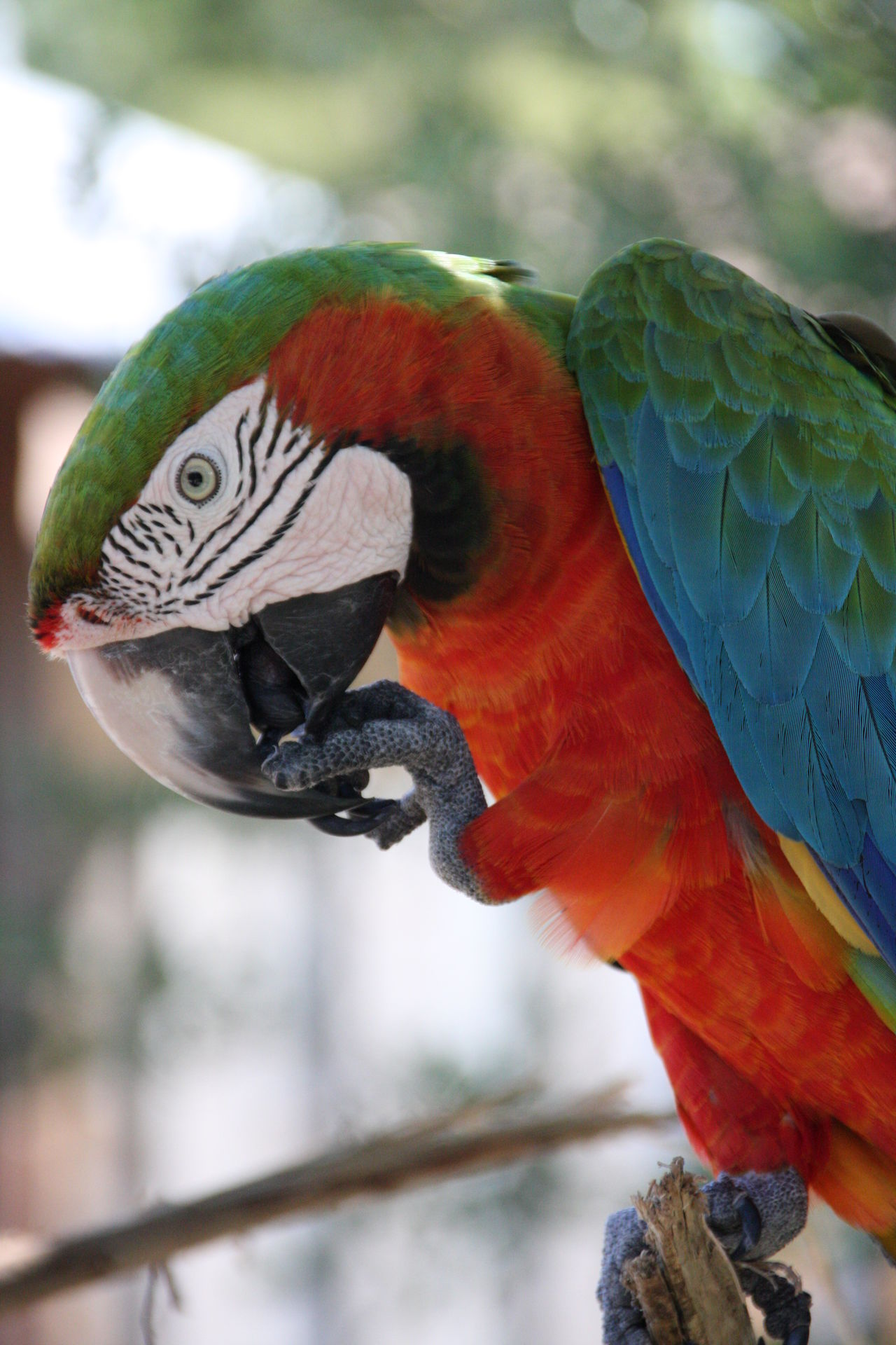 Parrot Kissimmee Colour Of Life