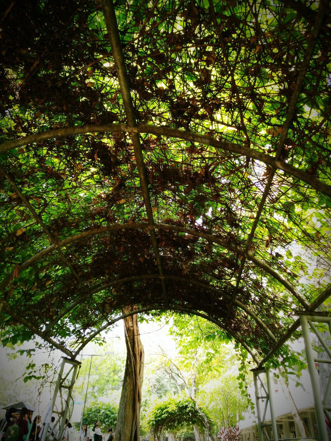 Real life ...Vine Liana Green Tree Shade Alone
