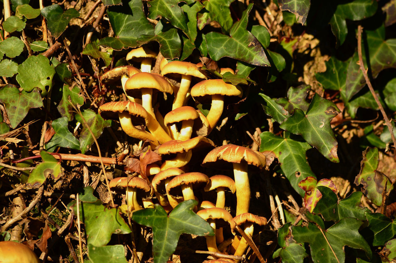 Mushrooms Champignon Champignons Close-up Day Growth Leaf Mushroom Nature No People Outdoors Pilz Pilze Plant Schrammel Toadstool Toadstools