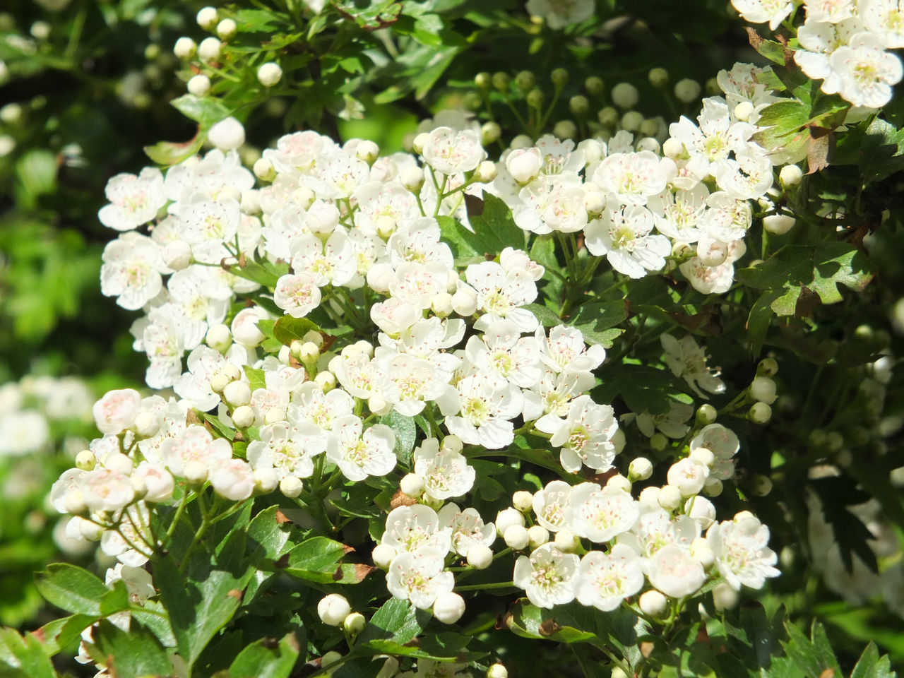 Beauty In Nature Blooming Blossom Close-up Day Flower Flower Head Fragility Freshness Growth Hawthorn Hawthorn Blossom Hydrangea Lilac Nature No People Outdoors Petal White Color