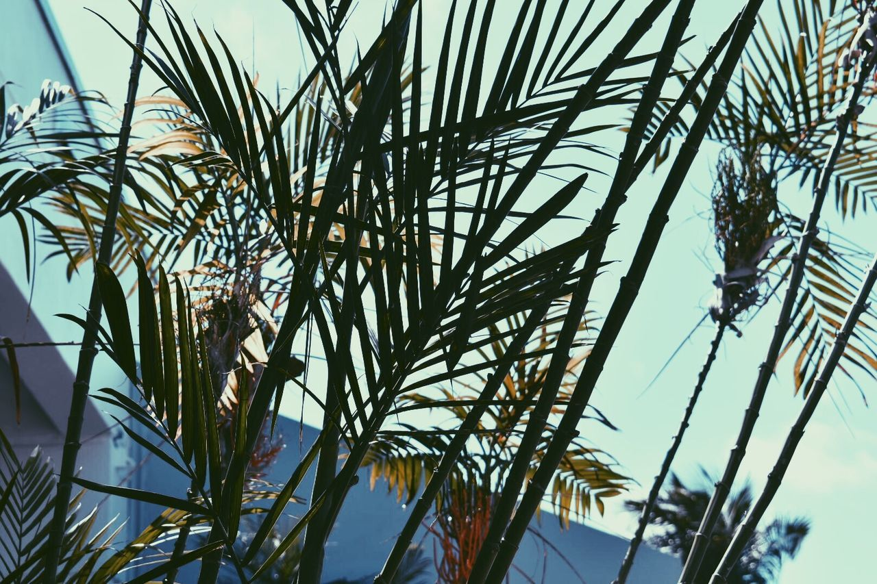 low angle view, no people, day, nature, sky, outdoors, growth, palm tree, tree, clear sky, beauty in nature, close-up