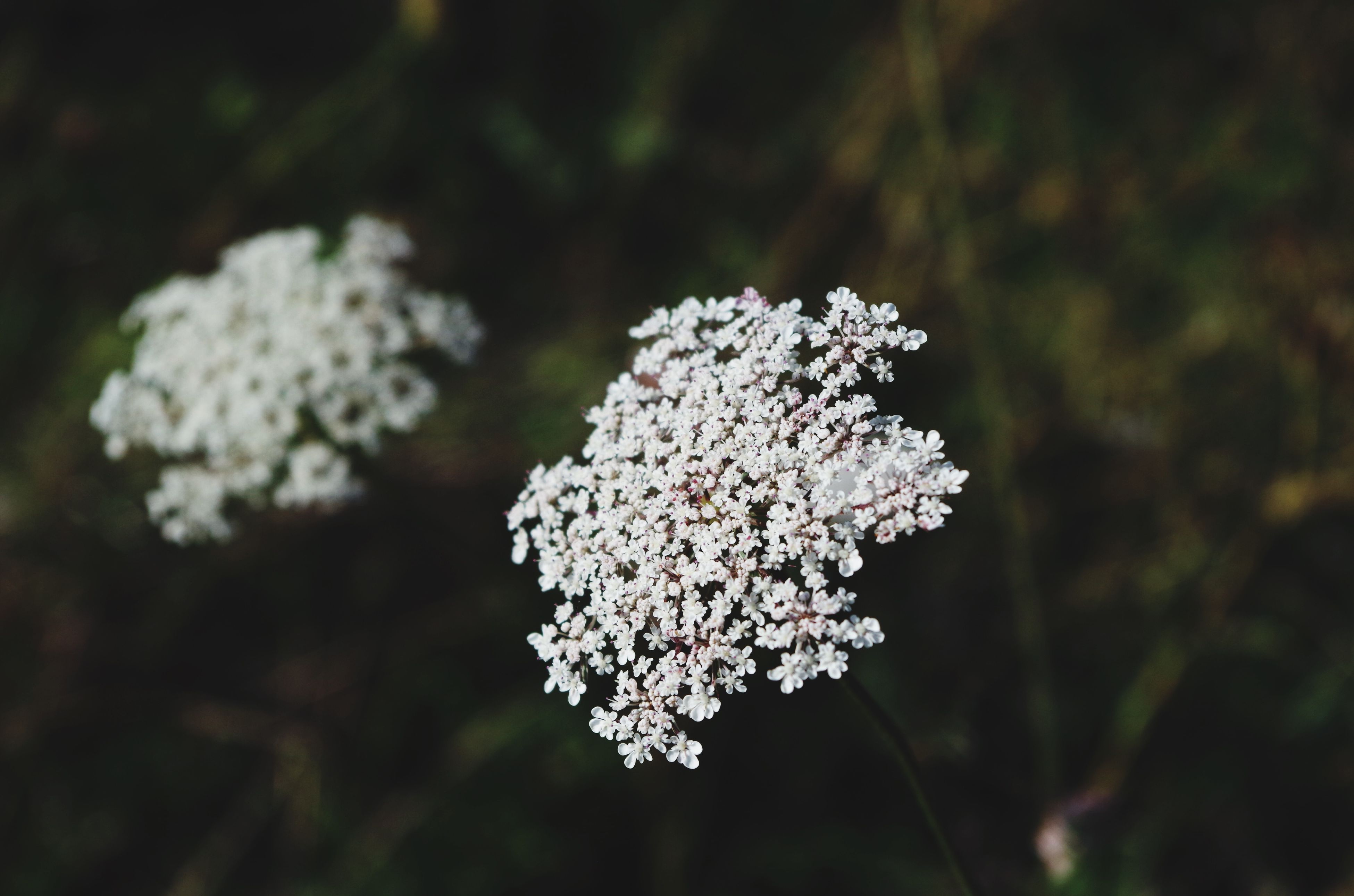 flower, fragility, freshness, white color, growth, focus on foreground, beauty in nature, petal, nature, close-up, flower head, blooming, blossom, in bloom, season, plant, selective focus, springtime, outdoors, white