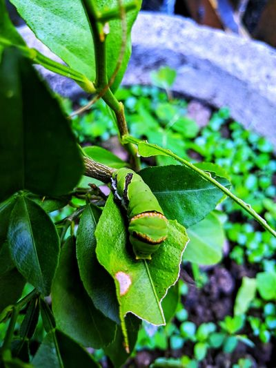 Caterpillar Insect Green Color Caterpillar Plant One Animal Close-up Nature Beauty In Nature Focus On Foreground Outdoors