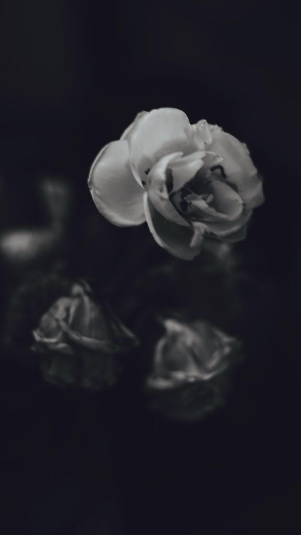 Flower Flower Head Beauty In Nature Rose - Flower Black Background Plant