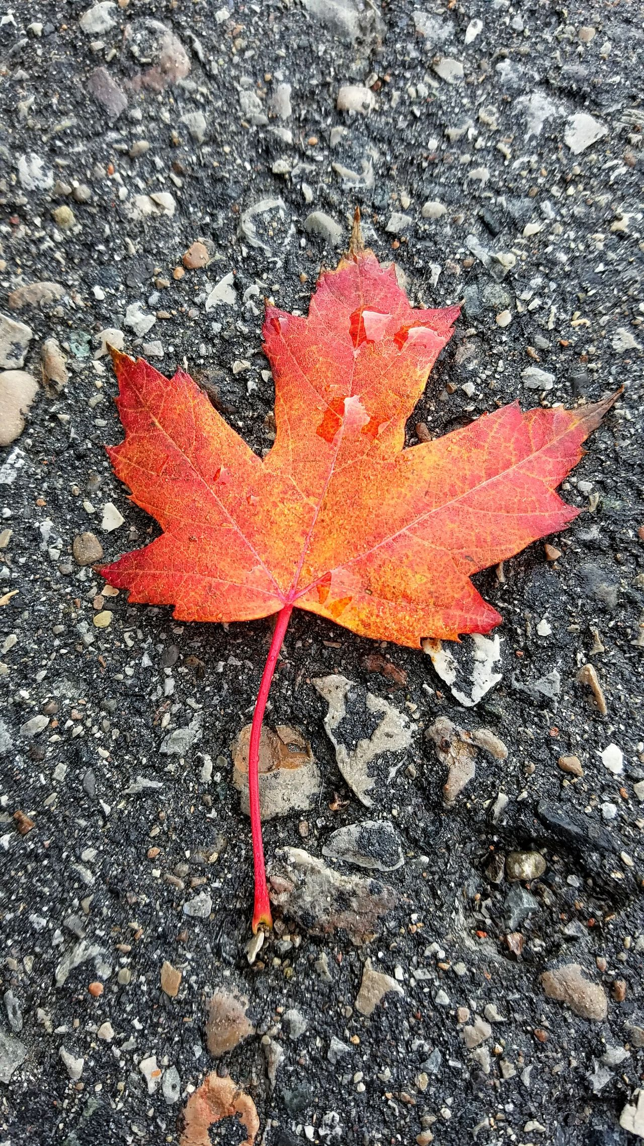 Leaf Canada Fall Autumn Autumn Leaves Autumn Colors Autumn Leaf Canadian 낙옆 가을가을 정서 Fall Colors 단풍 캐나다 High Angle View Red No People Day Nature Close-up Outdoors Maple Leaf