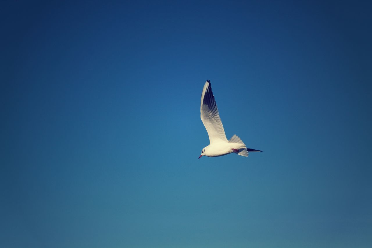 Animal Themes Animal Wildlife Beauty In Nature Bird Blue Blue Color Clear Sky Colorful Colorfull Day Dusk Flying Free As A Bird In Motion Low Angle View Nature No People Outdoors Seagull Seagulls Seagulls In Flight Sky Spread Wings