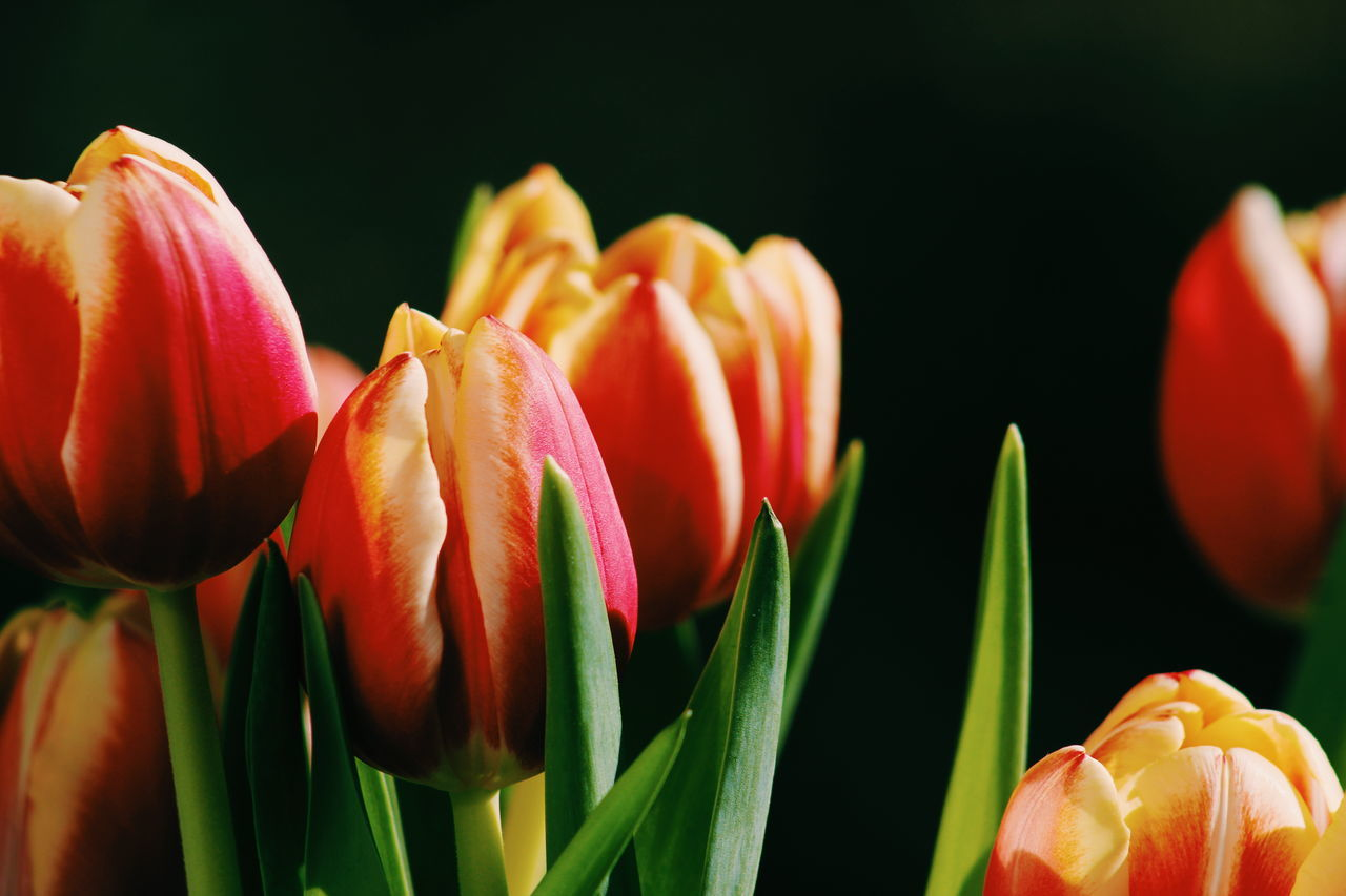 Beautiful stock photos of tulip, Beauty In Nature, Black Background, Close-Up, Flower