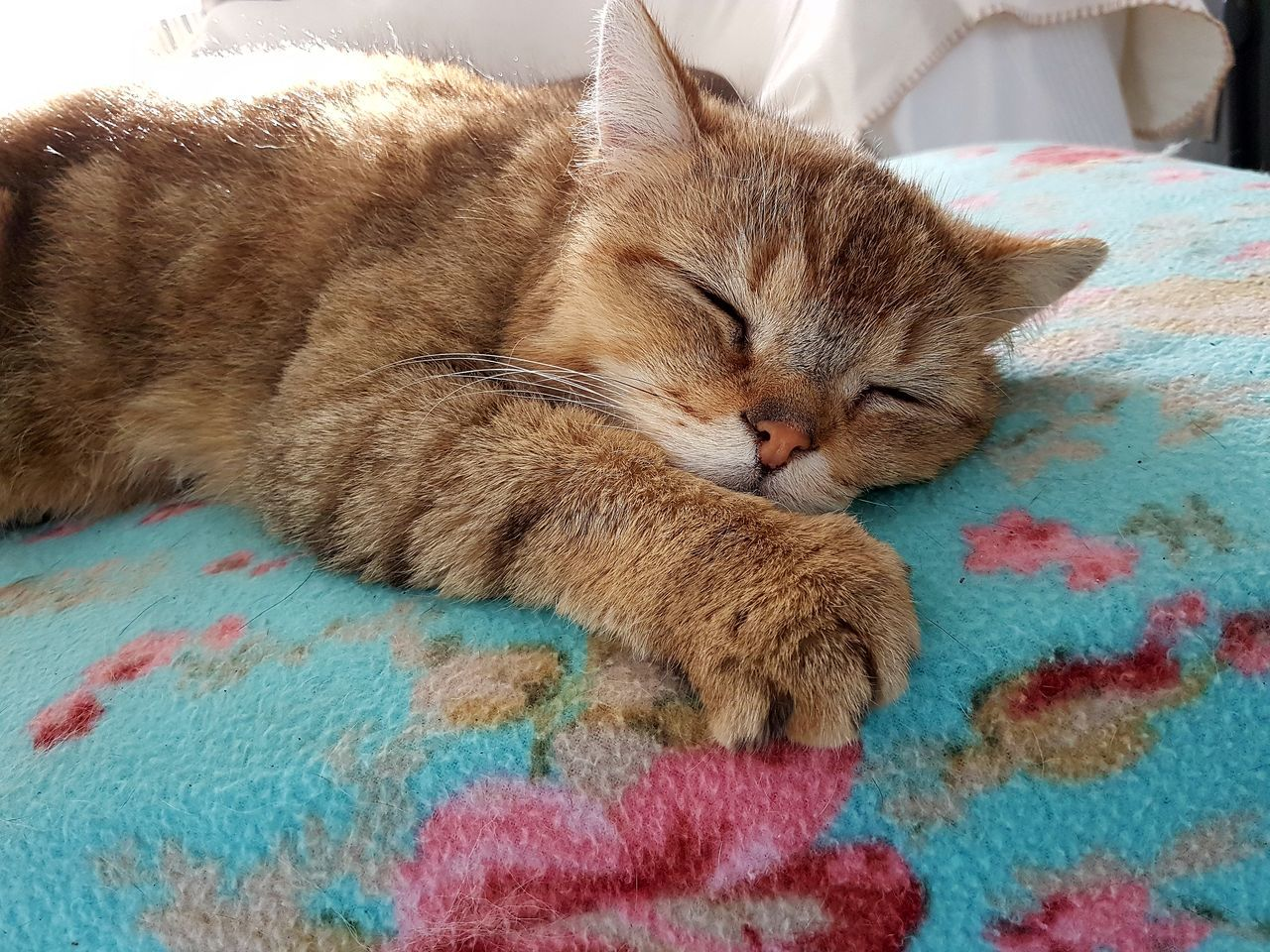 Indoors  High Angle View Mammal Animal Themes No People Relaxation Lying Down Bed Close-up Domestic Animals Pets Day Britishshorthair At Home Chillin  The Purist (no Edit, No Filter) British Shorthair Golden Shaded Raw Photography Mycat❤ Hummel