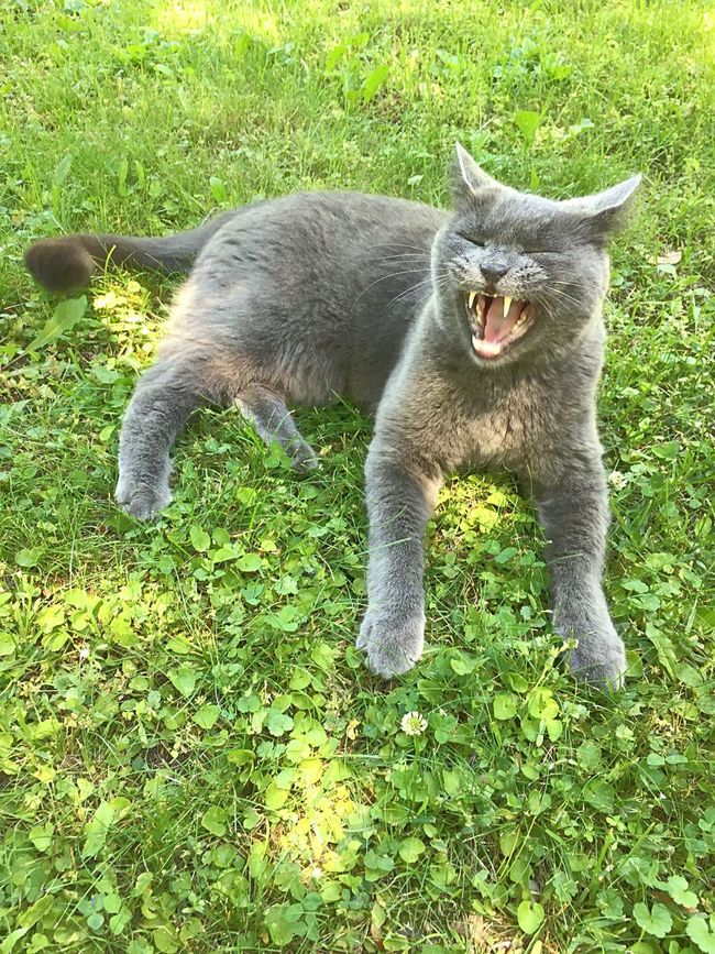 The King of the Front Lawn . Smokey Grey RussianBlue Teeth Yawn Meow Natureonyourdoorstep Natural Beauty Green Grass
