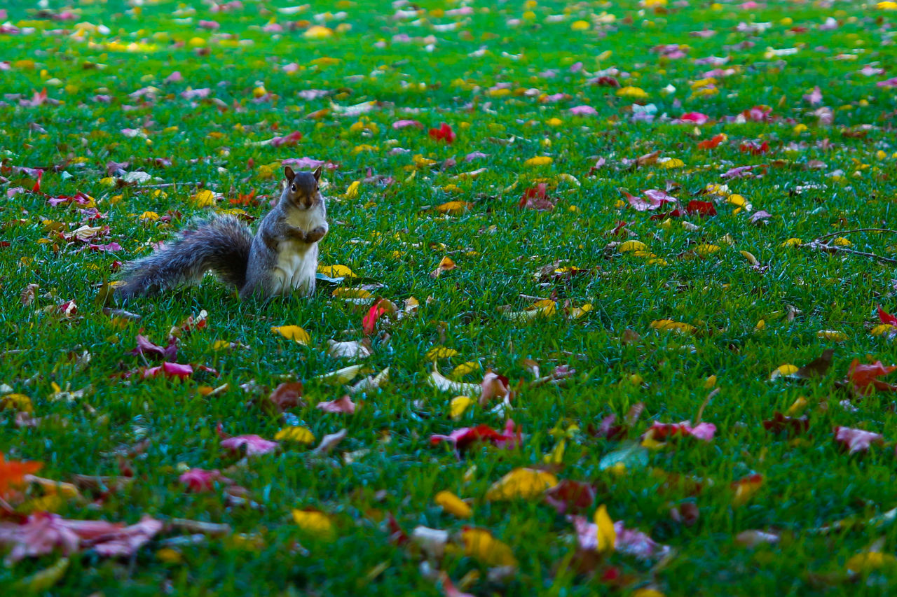 Alerted Squirrel Alerted Squirrel Animal Themes Animal Wildlife Animals In The Wild Beauty In Nature Boston City Of Boston Day Field Grass Green Color Green Grass Mammal Nature No People One Animal Outdoors Pets Squirrel