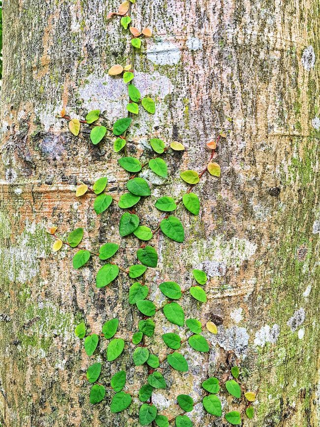 Leaves Leaves🌿 Leaves_collection Trunk Heart Heart Shape Life Root Roots Climbing Nature Natural Natural Beauty Natural Pattern Nature_collection Nature Photography Naturelovers Naturephotography Naturelover Nature_collection Nature Lover Nature_ Collection