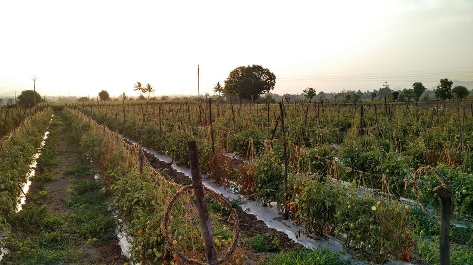 Original Experiences Fieldscape Field Tomato Field Evening Light Golden Sunlight Village Life Village Ranjani Village View Golden Moments  Miles Away Betterlandscapes